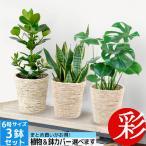 Yahoo!観葉植物の専門店 彩植健美お得で人気のまとめ買い 6号鉢 観葉植物 セット 3点で10,800円 父の日