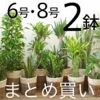 観葉植物 選べる2サイズ、人気のまとめ買い! 8号+6号鉢 鉢カバーセット パキラ モンステラ 幸福の木 ドラセナ 室内用大型 通販