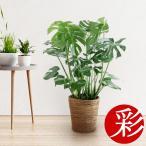 少し大きなモンステラ♪・観葉植物・ヒメモンステラ・7号鉢モンステラ