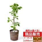 アルテシマ・観葉植物・フィカス・アルテシマ(アルテシマ)・ゴムの木10号鉢