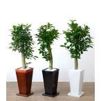 送料無料 ガジュマル 選べる3色シンプルなスクエア陶器 観葉植物