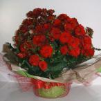 売り切れ。販売中止中。季節の鉢花。