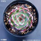 Yahoo!花とグリーンギフト三本松フラワー多肉植物【ミロス】【インテリア ミニグリーン観葉 】7.5cmポット10個セットと同時ご購入でお得送料無料