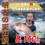 明石の天然鯛1.3kg 瀬戸内海産を活き〆にしてお届け お祝いお食い初めに