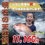 明石の天然鯛1.8kg 瀬戸内海産を活き〆にしてお届け お祝いお食い初めに