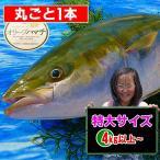 特大サイズ[1本] 香川県産 オリーブハマチ4kg以上の大物
