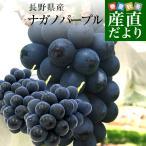 お一人様2箱まで 送料無料 長野県産 ナガノパープル 合計1.2キロ(2房から3房) ぶどう 葡萄 ※クール便