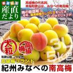 和歌山県産 JA紀州 みなべの南高梅  3Lサイズ 5キロ 送料無料 市場発送 うめ ウメ なんこうばい