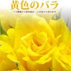 黄色いバラ 50cm×1本 ※20本以上 花束 トゲ取り無料※在庫お問い合わせください(平日0884-73-3944)