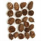東北花材 カラマツ ナチュラル 50個 66186 プリザーブドフラワー 花材ナッツ 木の実  フルーツ松かさ から松