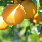 梨 豊水 贈答用 6〜7個 森の梨園 豊水梨 豊水なし 豊水ナシ なし ナシ