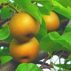 梨 幸水 贈答用 7〜8個 森の梨園 幸水梨 幸水なし 幸水ナシ なし ナシ