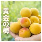 黄金の梅 完熟梅 3kg 福井県産 樹上完熟梅 送料無料 梅干し用 完熟梅 生梅 うめ