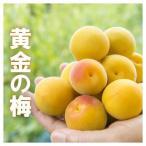 黄金の梅 完熟梅 5kg 福井県産 樹上完熟梅 送料無料 梅干し用 完熟梅 生梅 うめ