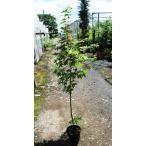 ヤマモミジ(イロハモミジ) 樹高120cm位 18cmポット苗
