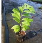 ポポー 実生苗 樹高40cm〜50cm位 15cmポット苗