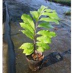 ポポー 実生苗 樹高60cm〜80cm位 15cmポット苗