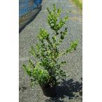 ボックスウッド 樹高約40cm位 15cmポット苗