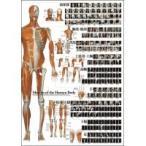 解剖ポスター 全身の骨格筋/玩具