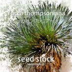 ユッカの種子 トンプソニアーナ