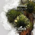 ユッカの種子 ブレビフォリア