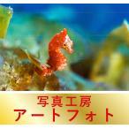 額装写真 オリジナルプリント 「ピグミー・シーホース」東京都/小笠原諸島/兄島滝ノ浦湾 (通常サイズ:426×336mm)