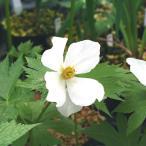【山野草】白花シラネアオイ