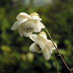 白花レンゲショウマ