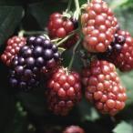 【果樹苗】ブラックベリー「ソーンフリー」(15cmp)