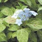 《2021年開花見込み》ヤマアジサイ「九重山」 3.5号(10.5cm)ポット植え