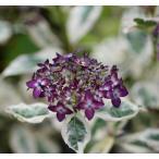 《2021年開花見込み》ヤマアジサイ「御殿場錦」 3.5号(10.5cm)ポット植え