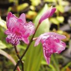 三蝶咲シラン