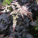 【宿根草】アスチルベ「チョコレート・ショーグン」 5号(15cm)ポット植え