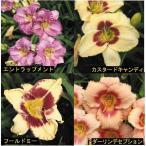【宿根草】ヘメロカリス500シリーズ 4種セット