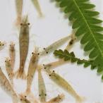 ミナミヌマエビ 10匹 「おまけ入り」 国産 天然物