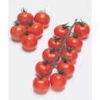 【ミニトマト】タキイ交配 フルティカ 中玉トマト 100粒 ★新タネは種子切り替えの12月以降のお届を予定