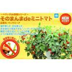 【ミニトマト】 ナント種苗  そのまんまdeミニトマト「マンマミーア」 オリジナル小袋 ★新タネは12月以降のお届けを予定