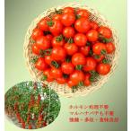 【ミニトマト】 園芸植物育種研究所育成  べにすずめ 100粒 ★送料無料/代引不可 ★新タネは種子切替えの12月以降のお届けを予定
