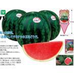【小玉スイカ】ナント交配 「3X ジルバ」 (タネなし) 小袋 ★新タネは種子切り替えの1月以降のお届を予定