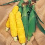 【とうもろこし】タキイ交配 ランチャー82 小袋 ★新タネは種子切り替えの1月以降のお届を予定