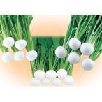 【カブ】 武蔵野交配 「万寿(まんじゅ)」 小袋 ★新タネは1月以降となります