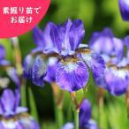 商品名:アヤメ(あやめ) 和名:菖蒲、文目、綾目 学名:Iris sanguinea 【山野草】【耐...