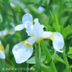 白花アヤメ 10.5cmポット仮植え苗 山野草