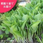 ウルイ 5株 山菜苗