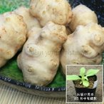 (1ポット) 岩手県産キクイモ 10.5cmポット種芋仮植え苗 山菜苗/無農薬栽培/※植えたばかりで根回りしていません