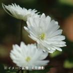 キクザキイチゲ 雪手毬 10.5cmポット苗 山野草