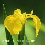 キショウブ 10.5cmポット仮植え苗 山野草