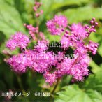 キョウカノコ 桃花 9cmポット苗 山野草