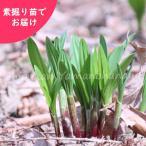 ギョウジャニンニク 20株 山菜苗