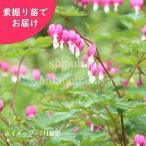 ケマンソウ(タイツリソウ) 桃花 5株 山野草